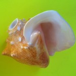 conch shell trumpet